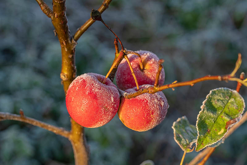 A close up horizontal image of a branch of a tree with three red ripe fruits covered in a dusting of frost, pictured in light sunshine on a soft focus background.