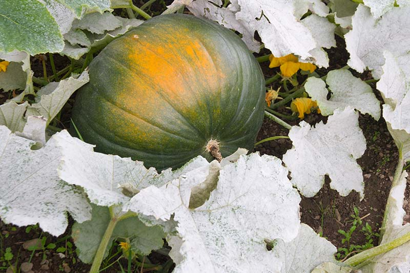 A close up horizontal image of a developing cucurbit surrounded by diseased and dying foliage that leaves the fruit exposed to the sun.
