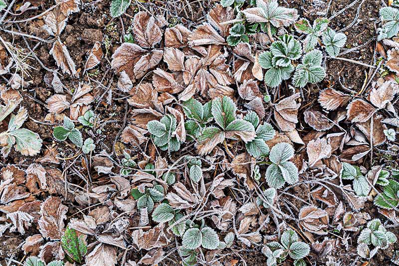 A close up top down picture of plants growing in the garden covered by a layer of light frost, pictured in soft light.