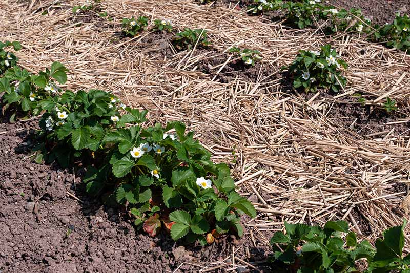 A close up horizontal image of strawberry plants growing in the garden in neat rows with a layer of straw mulch around and in between them.