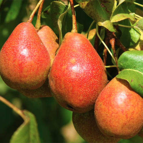A close up square image of large red 'Summercrisp' pears ready to harvest, pictured in bright sunshine on a soft focus background.