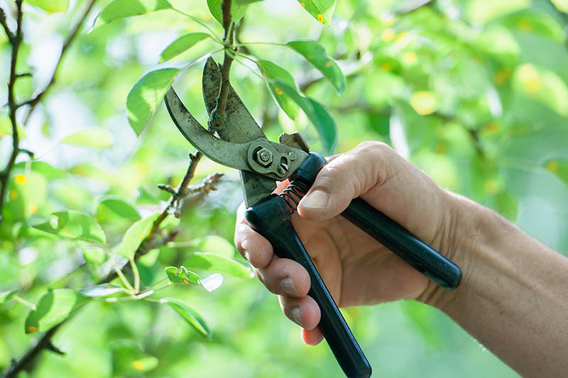 A close up horizontal image of a hand from the right of the frame holding a pair of pruning shears and cutting a branch from a tree.