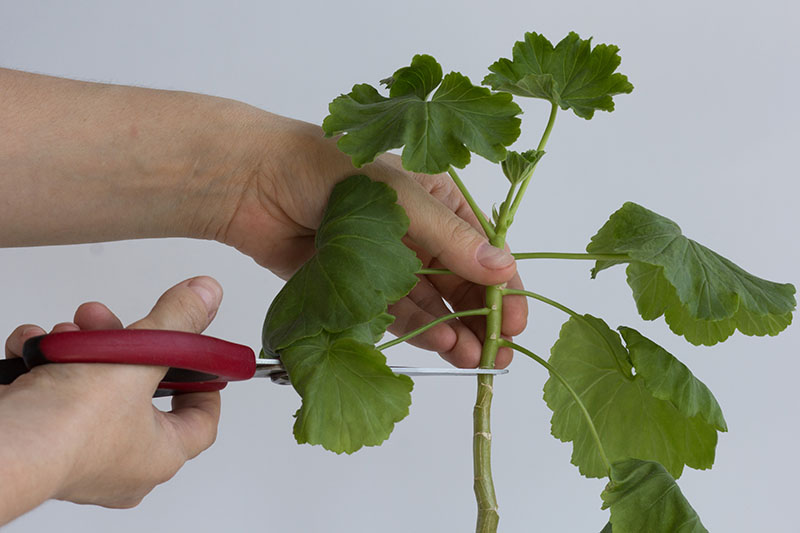 A close up horizontal image of two hands from the left of the frame holding scissors and taking a cutting from a plant, pictured on a light gray background.
