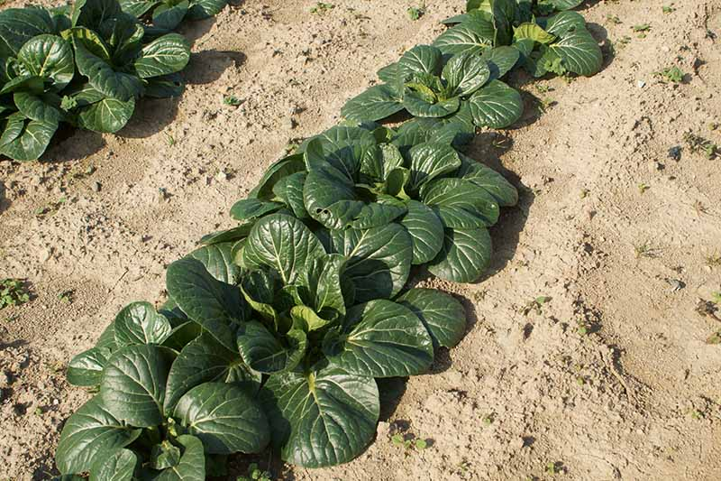 A close up horizontal image of rows of tatsoi growing in the garden surrounded by dry soil.