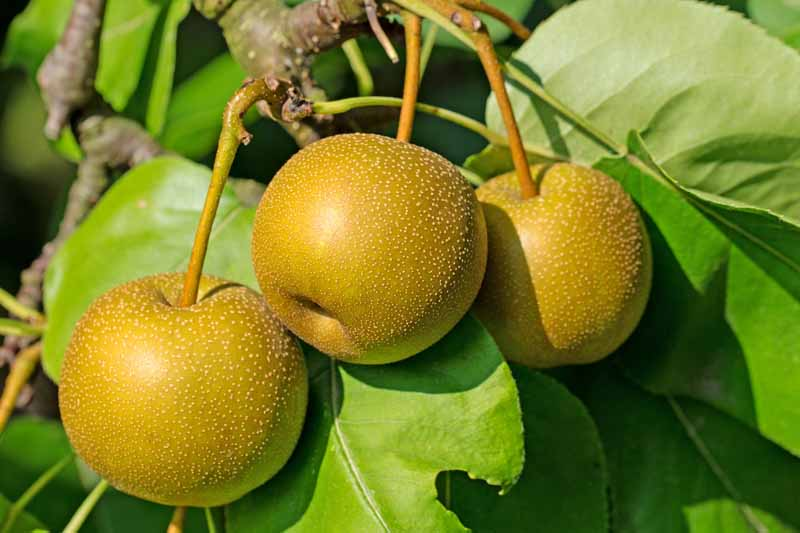 A close up horizontal image of three ripe Pyrus pyrifolia fruits ready to harvest, surrounded by green foliage, pictured in bright sunshine on a soft focus background.