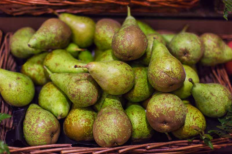 A close up horizontal image of freshly harvested Pyrus communis in a wicker basket.
