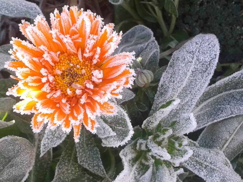 A close up horizontal image of an orange flower and foliage covered in frost, pictured on a soft focus background.