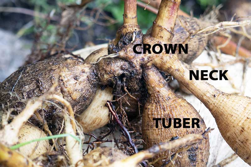 A close up horizontal image of a dahlia tuber freshly dug from the ground with black printed text to indicate the different sections.