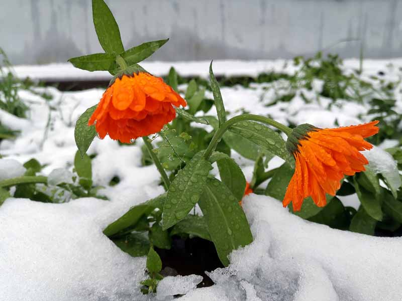 A close up of two orange pot marigold flowers surrounded by snow pictured on a soft focus background.