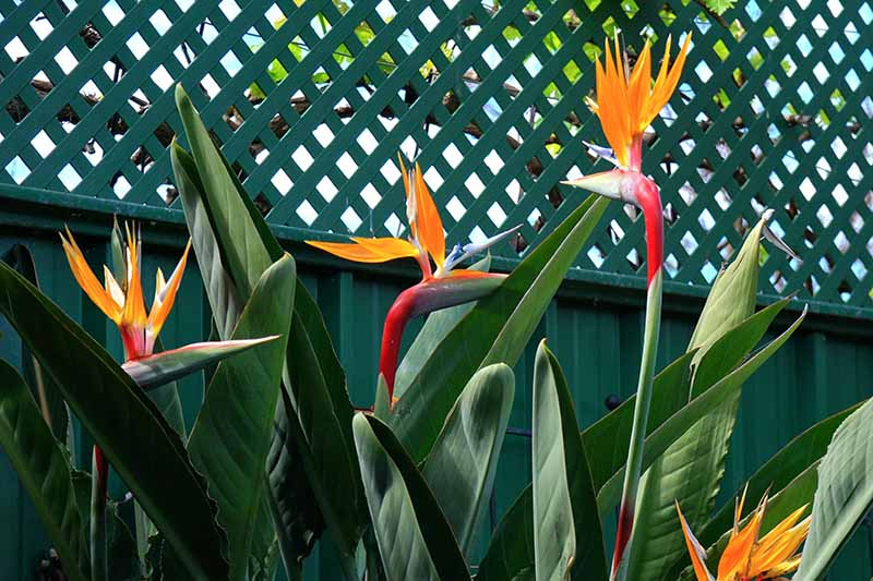 A horizontal image of orange, blue, and red Strelitzia reginae flowers growing in front of a green fence pictured in bright sunshine.