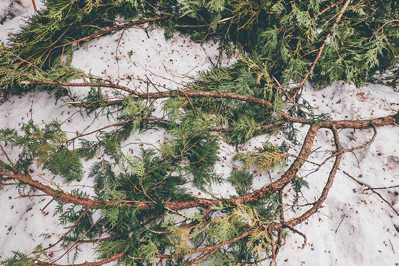 A close up horizontal image of Christmas tree boughs being used as winter protection on the top of snow.