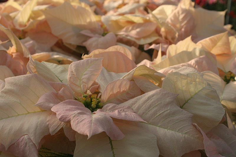 A close up horizontal image of a delicate pink and cream 'Visions of Grandeur' poinsettia cultivar pictured in light filtered sunshine.
