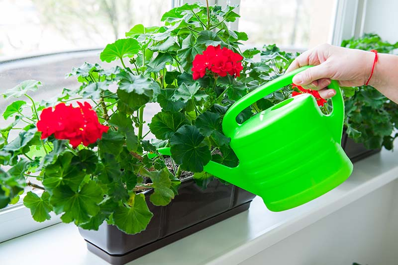 A close up horizontal image of a hand from the right of the frame holding a green watering can pouring water onto a red flowering plant growing in a container on a windowsill.