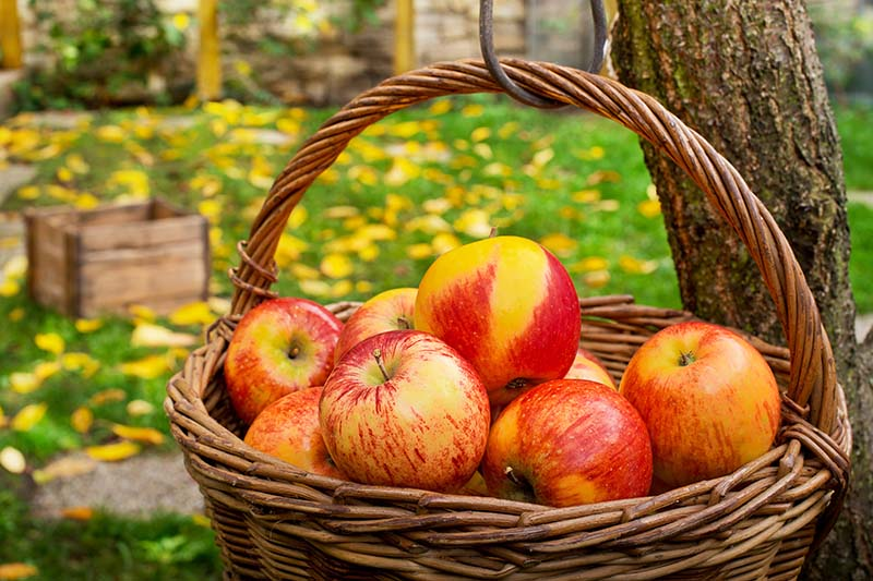 A close up horizontal image of a wicker basket filled with freshly harvested ripe apples, set in a garden scene. In the background is a lawn littered with autumn leaves in soft focus.