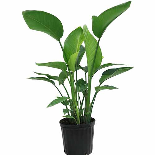 A close up square image of a white bird of paradise plant in a black pot pictured on a white background.