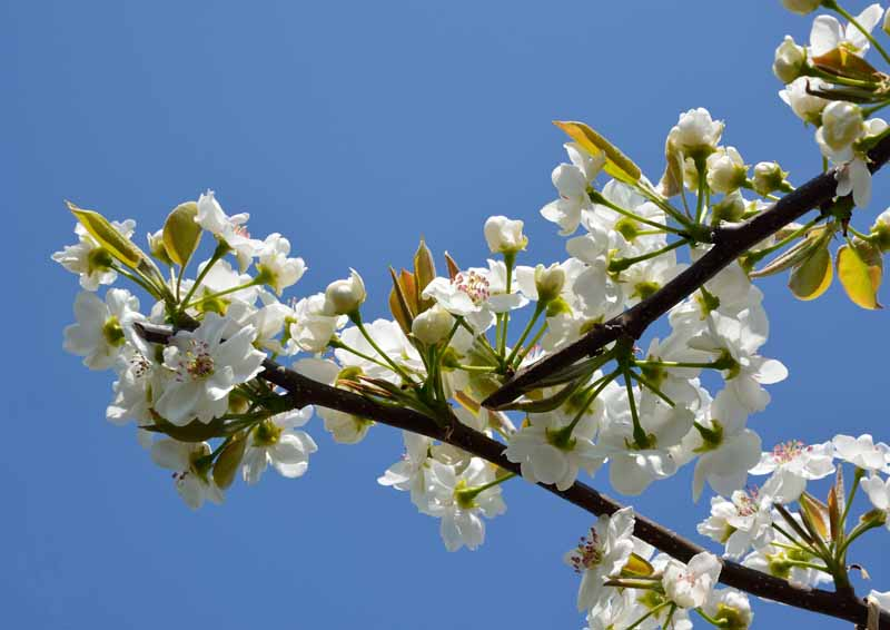 A close up horizontal image of white blossoms of Pyrus pyrifolia pictured in bright sunshine on a blue sky background.