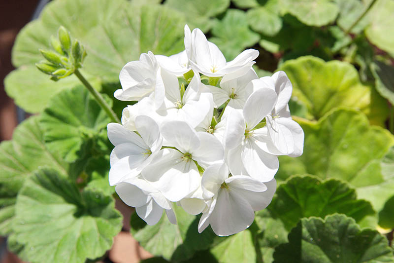 A close up horizontal image of a white flower pictured in bright sunshine with foliage in soft focus in the background.