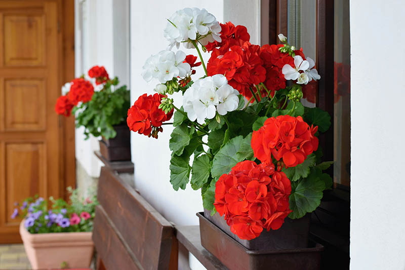 A close up horizontal image of window boxes outside a home planted with vibrant red and white flowers.