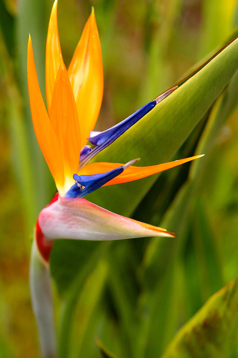 A vertical close up picture of an orange, blue, and red bird of paradise flower pictured in light sunshine on a green soft focus background.