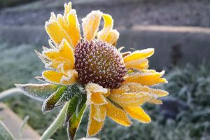 Putting a Blanket on Blanket Flowers: Gaillardia Winter Care Guide
