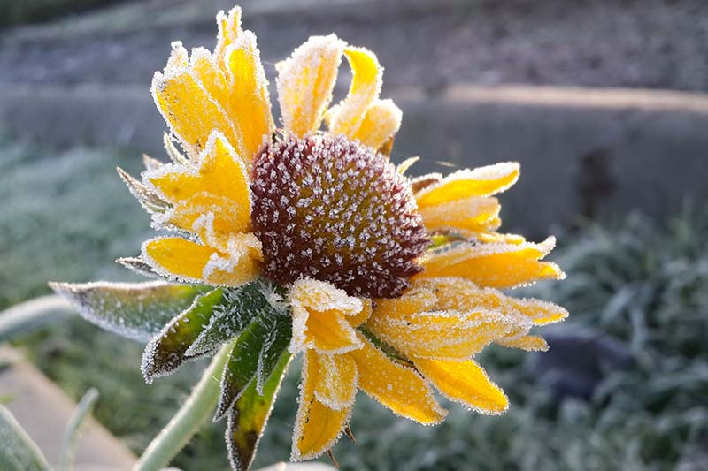 A close up horizontal image of a bright yellow flower covered in a light dusting of frost pictured in light sunshine on a soft focus background.