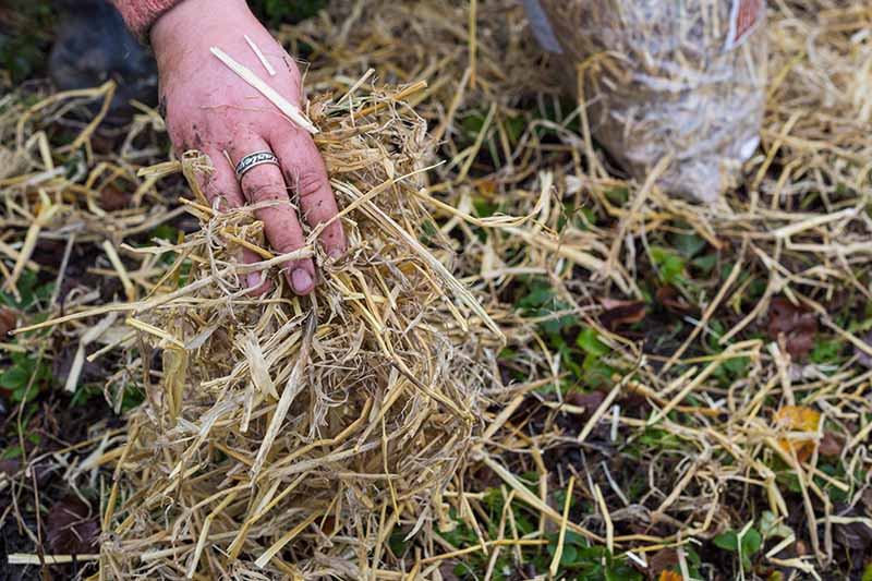 A close up horizontal image of a hand from the top of the frame applying barley straw around plants as a winter mulch.