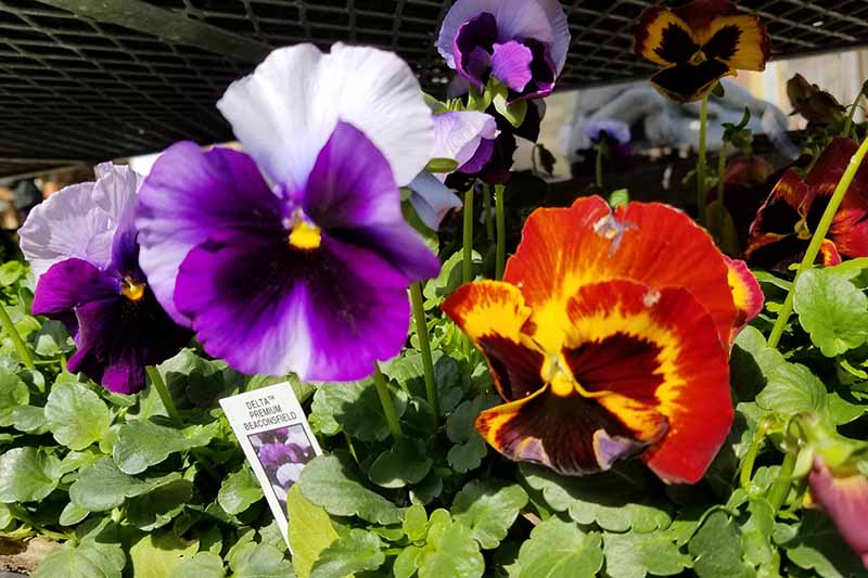 A close up horizontal image of spring pansies growing in flats at the garden center.
