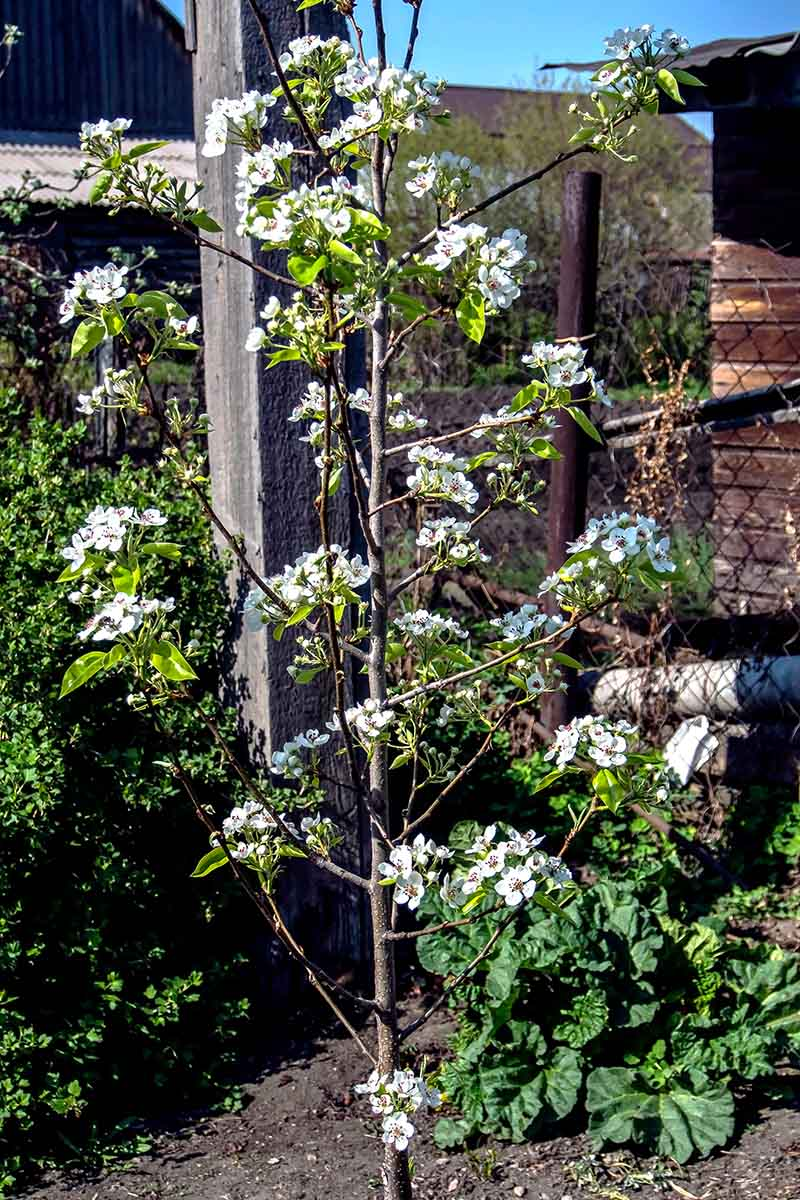 A close up vertical image of a young fruit tree planted in the garden with a fence in soft focus in the background.