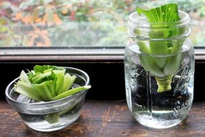 How to Regrow Bok Choy from Scraps