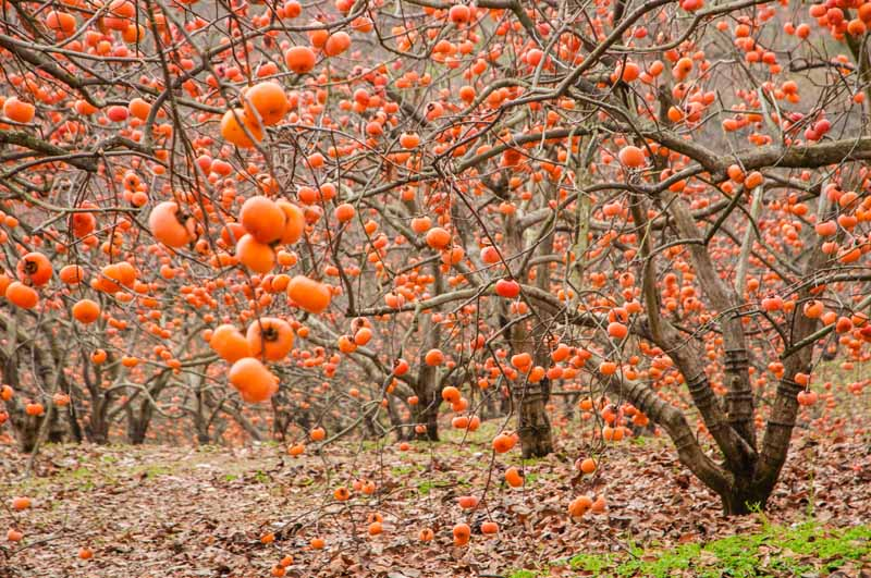 A horizontal image of a Korean orchard of Diospyros kaki trees with ripe orange fruit ready for picking, with autumn leaves surrounding the trees.