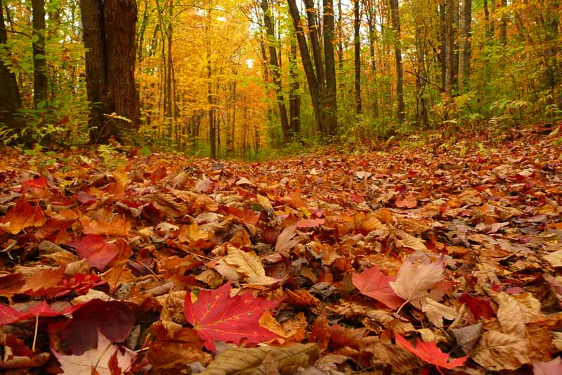 A horizontal image of a forest floor covered by fall leaves, pictured in light autumn sunshine.
