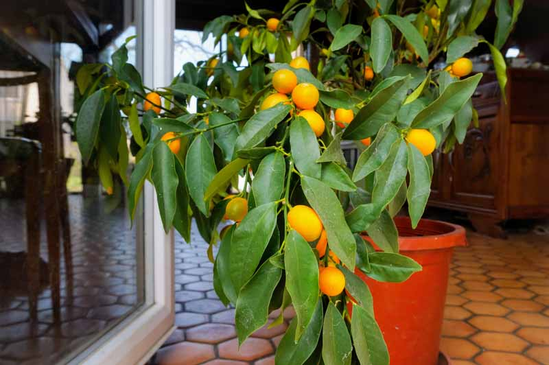 A close up horizontal image of a small red container with a citrus plant growing indoors with cabinetry and furniture in the background.