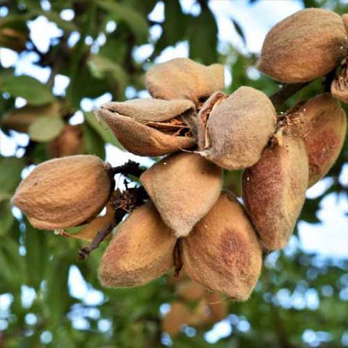 A close up square image of almonds growing on a tree in a home orchard pictured on a soft focus background.