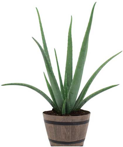 A close up square image of a small aloe plant in a wooden pot pictured on a white background.