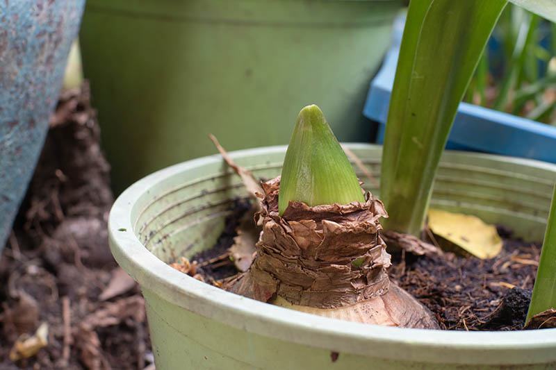 A close up horizontal image of the new growth of a Hippeastrum plant after winter dormancy.