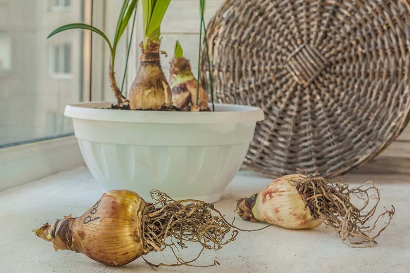 A horizontal image of Hippeastrum bulbs set on a windowsill with a white pot in the background and a wicker tray.