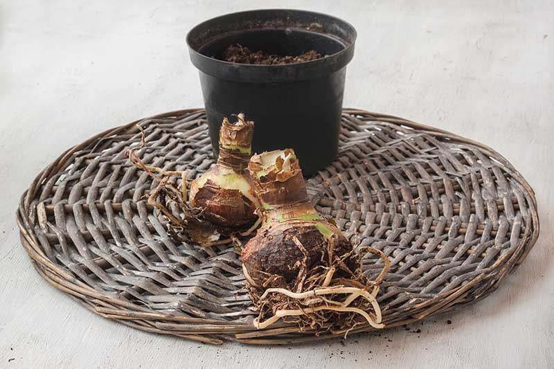 A close up horizontal image of a wicker tray with a small black plastic pot and two dried Hippeastrum bulbs ready for planting or dividing.