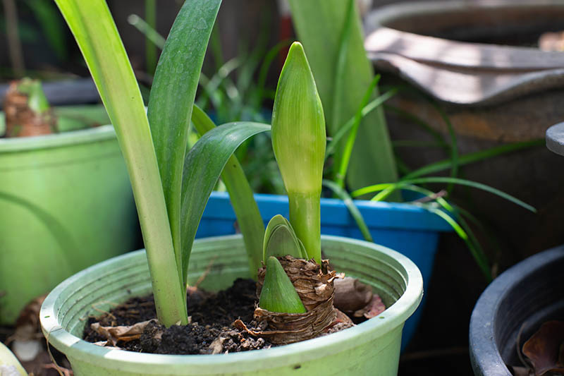 A close up horizontal image of a Hippeastrum growing in a green plastic pot with small offshoots to the side.
