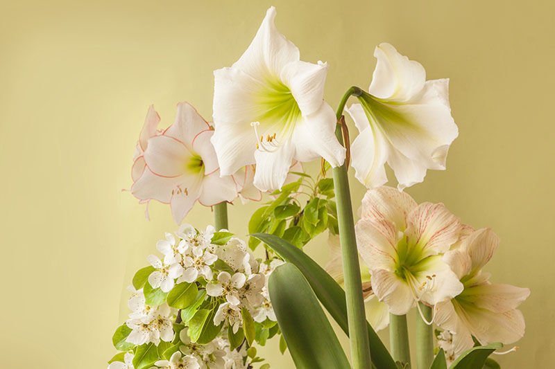 A close up horizontal image of different types of Hippeastrum pictured on a soft focus background.