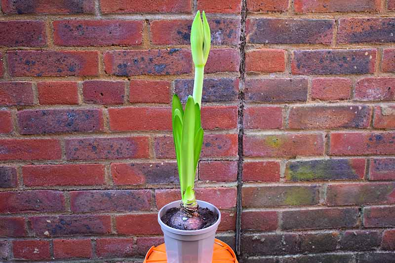 A close up horizontal image of a potted amaryllis bulb with a long flower stalk with a brick wall in the background.