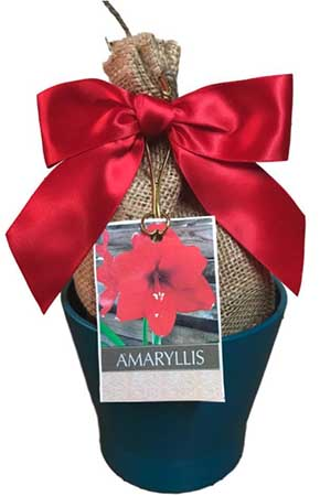 A close up square image of an amaryllis plant in a small post neatly gift wrapped with a red bow.