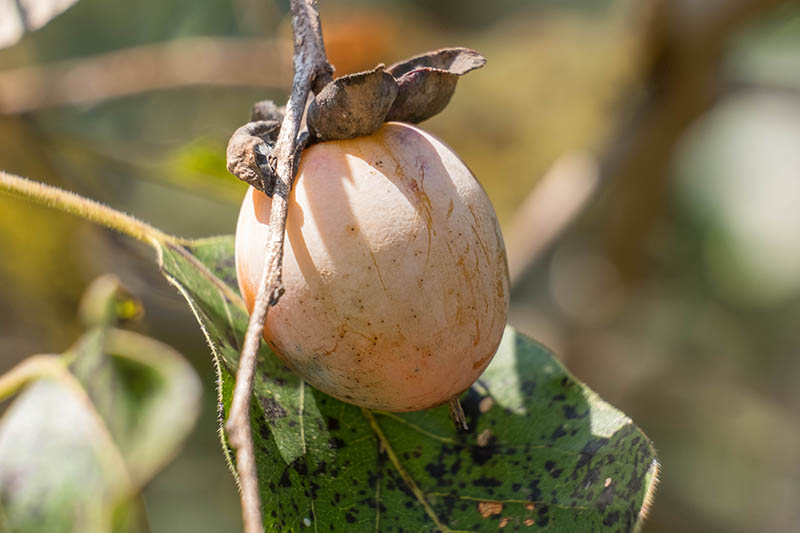 A close up horizontal image of a Diospyros virginiana fruit on a branch pictured on a soft focus background.