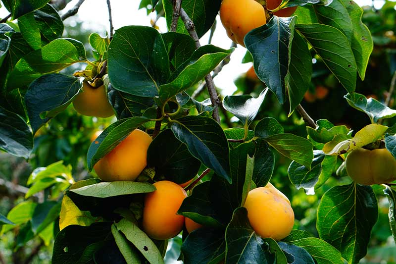 A close up horizontal image of Diospyros virginiana tree growing in the garden with ripe orange fruits ready for harvest.