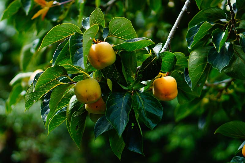 A close up horizontal image of the orange fruits of the American persimmon tree (Diospyros virginiana) surrounded by foliage pictured on a dark soft focus background.