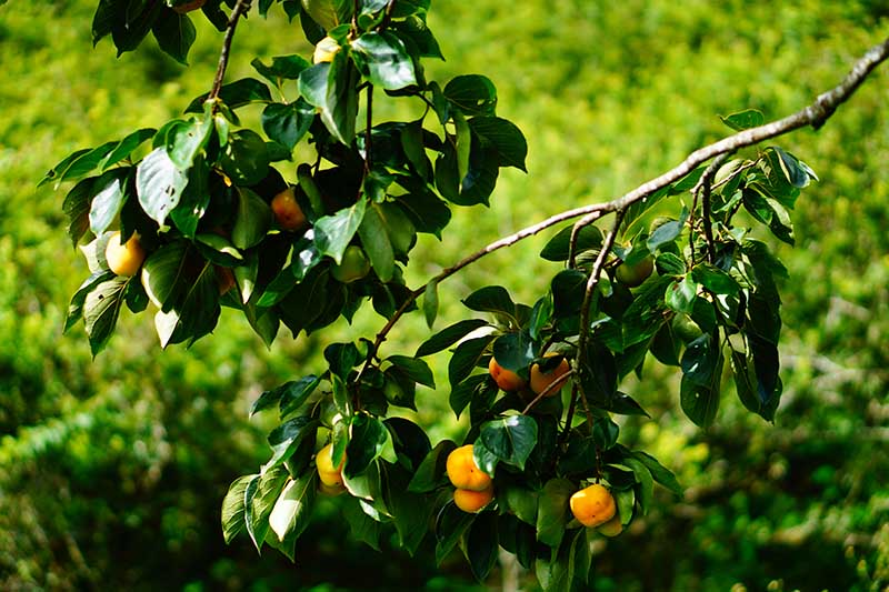 A close up horizontal image of the branches of an American persimmon tree (Diospyros virginiana) with ripe orange fruits pictured in light filtered sunshine on a soft focus background.