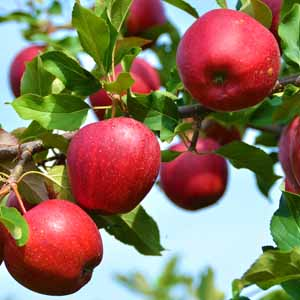 Bright red apples growing on a tree.