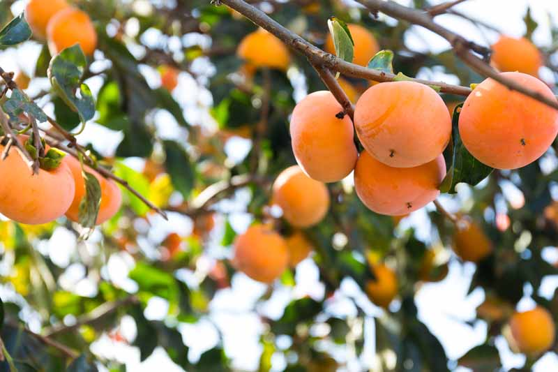 A close up horizontal image of persimmons hanging from the branches of a tree, ready for harvest, pictured in light sunshine on a soft focus background.