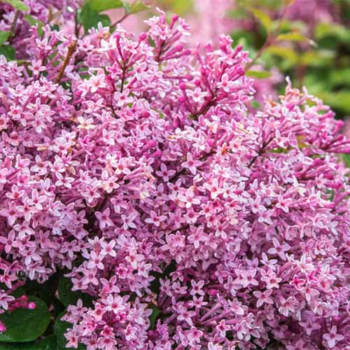 A close up square image of the bright pink flowers of Syringa vulgaris 'Be Right Back' growing in the garden pictured on a soft focus background.