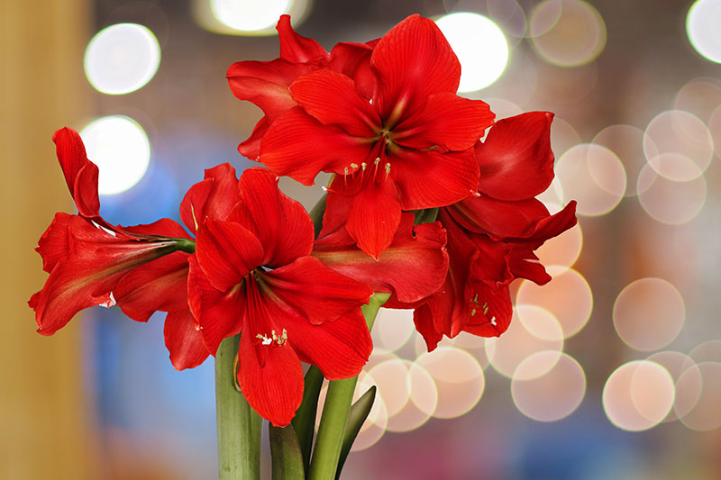 A close up horizontal image of a bright red Hippeastrum growing indoors on a soft focus background.