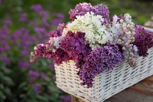 23 of the Best Lilac Varieties to Grow at Home
